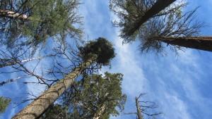Schier endlos hoch - die Kronen der Mammutbäume wachsen bis in etwa 100 Meter Höhe.