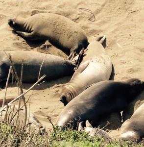 Seite an Seite genießen die Seeelefanten an der kalifornischen Küste die Sonne.
